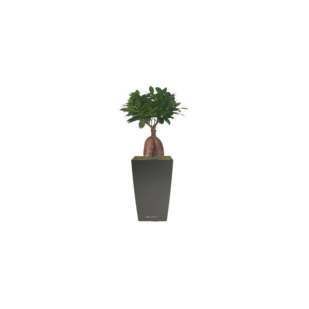Ficus 'Ginseng' 30 + rempotage
