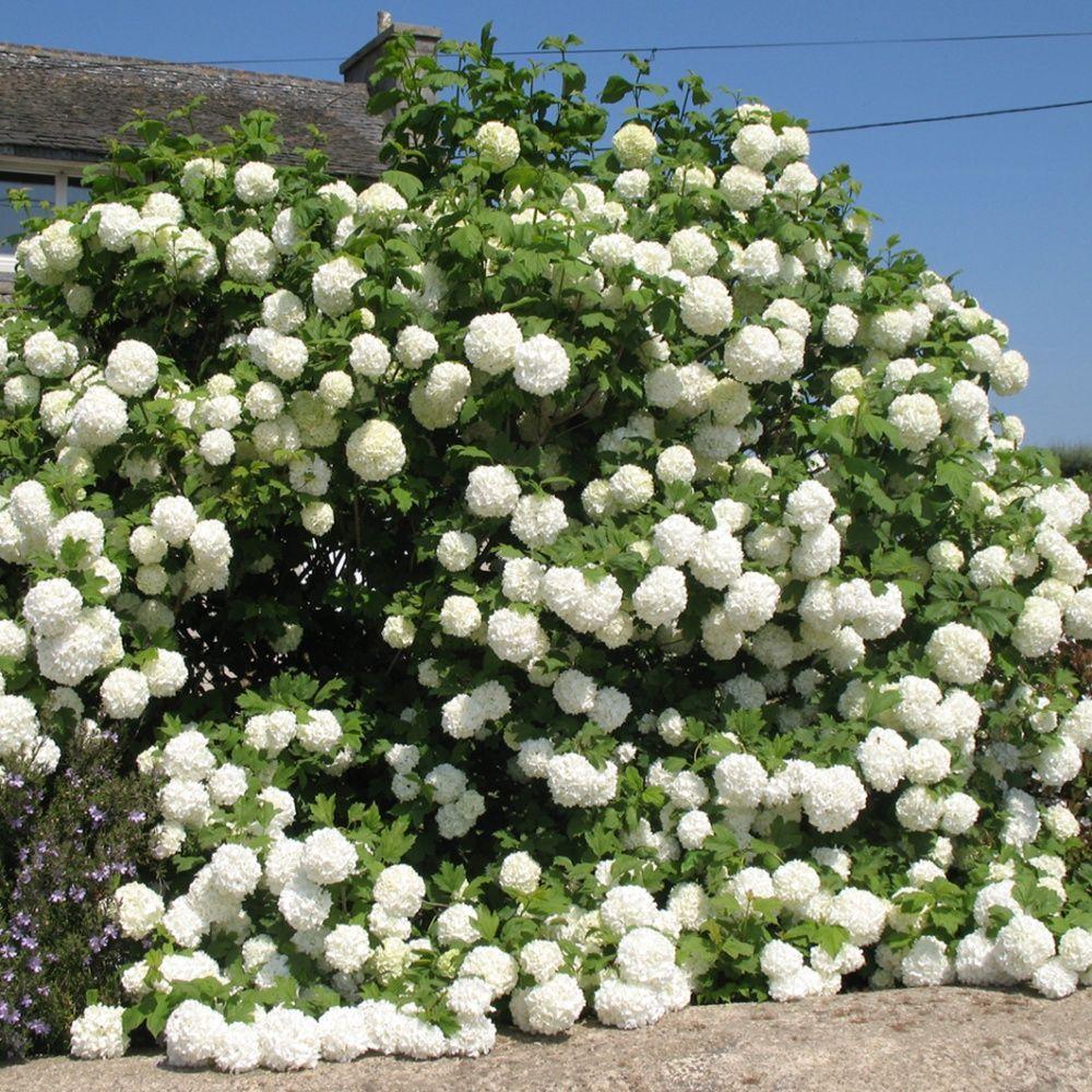 Viorne ou viburnum boule de neige 39 roseum 39 x 2 2 pots de 2 - Boule de neige plante ...