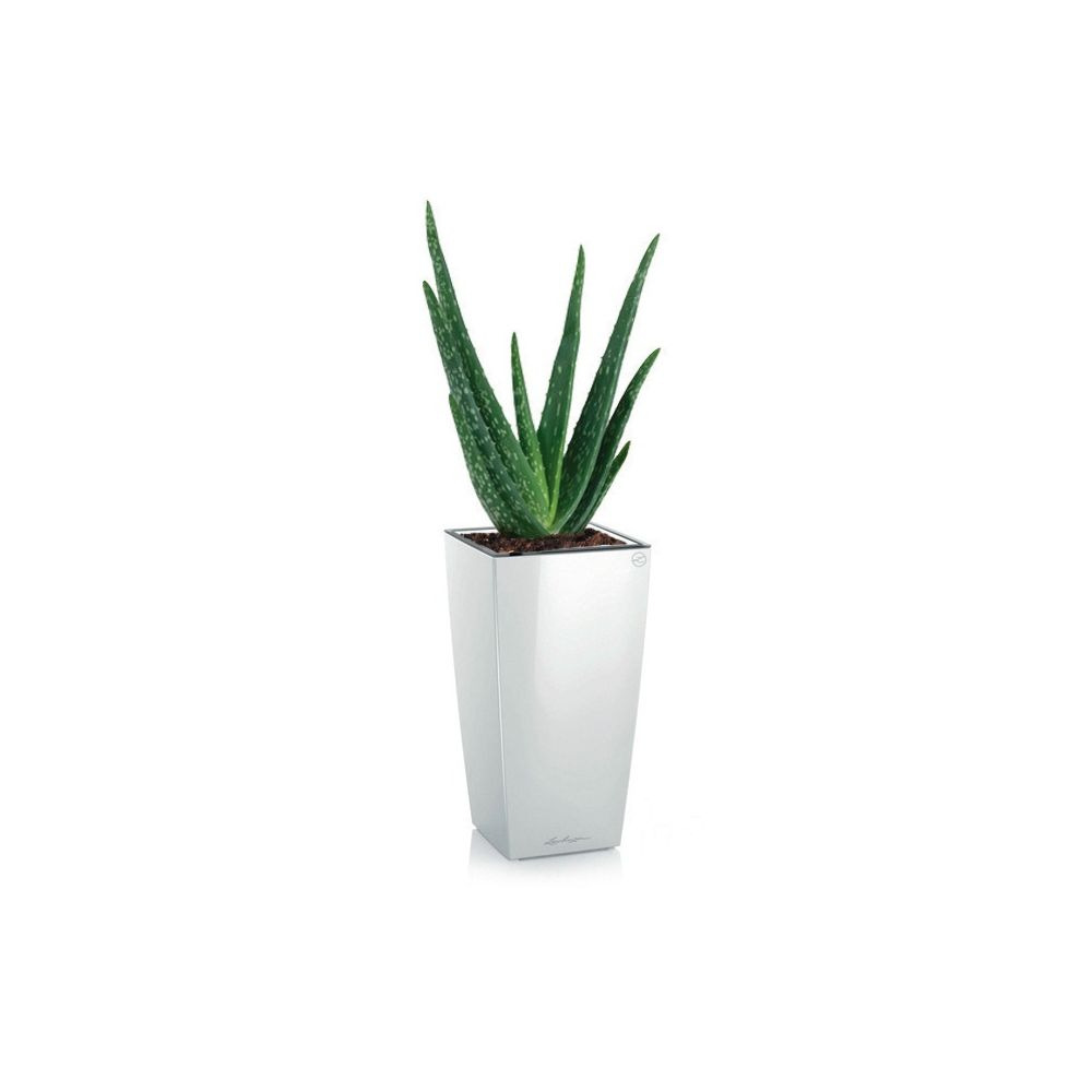 aloe vera rempot dans pot lechuza maxicubi blanc brillant hauteur totale 40 50cm rempotage. Black Bedroom Furniture Sets. Home Design Ideas