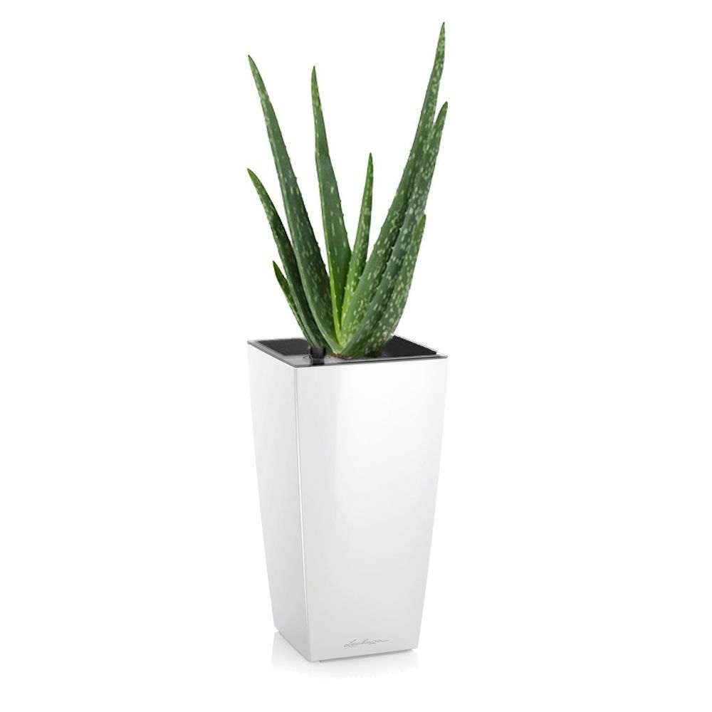 aloe vera rempot dans pot lechuza maxicubi blanc brillant. Black Bedroom Furniture Sets. Home Design Ideas