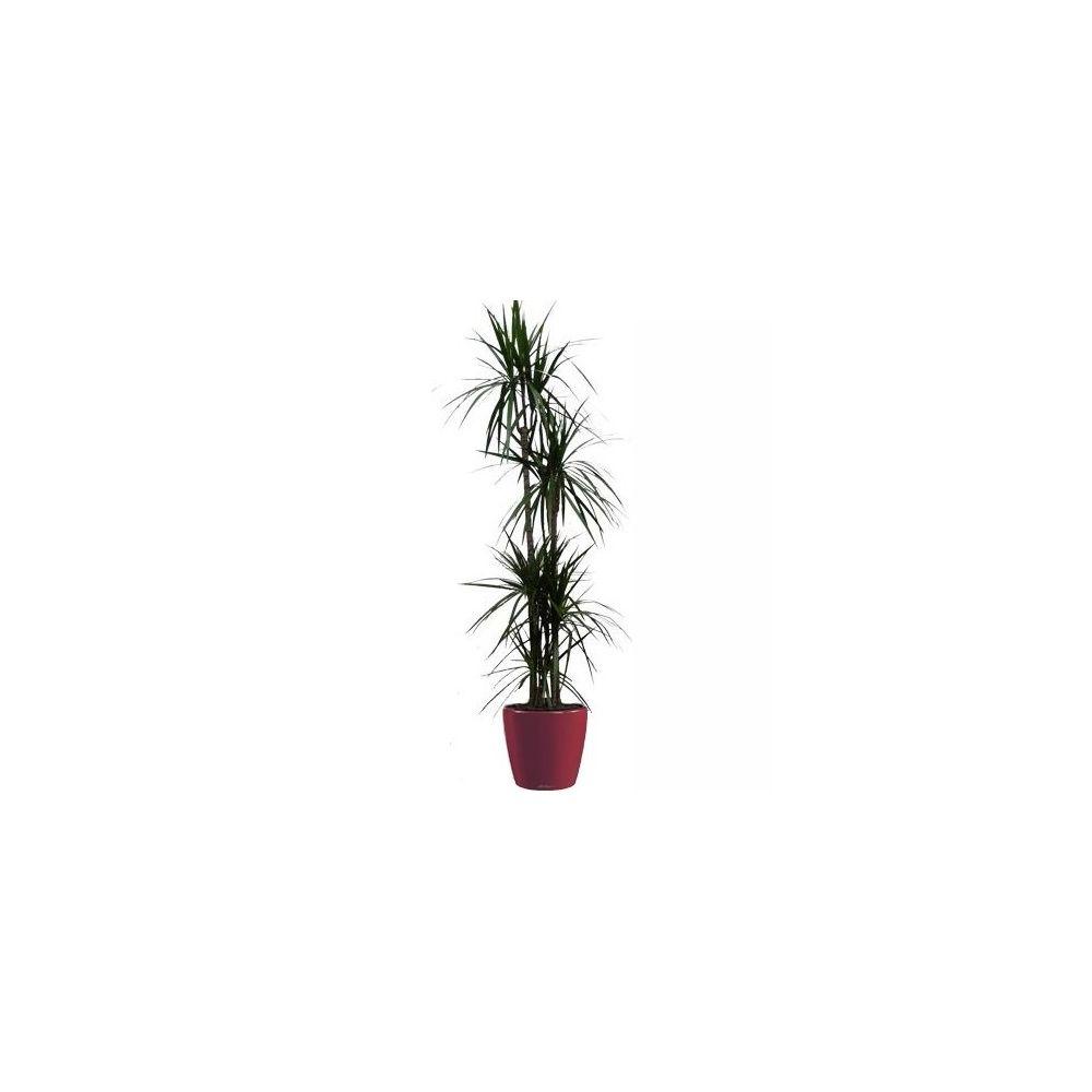 Dracaena marginata 5 pieds rempoté dans pot Lechuza Classico Premium 35 rouge