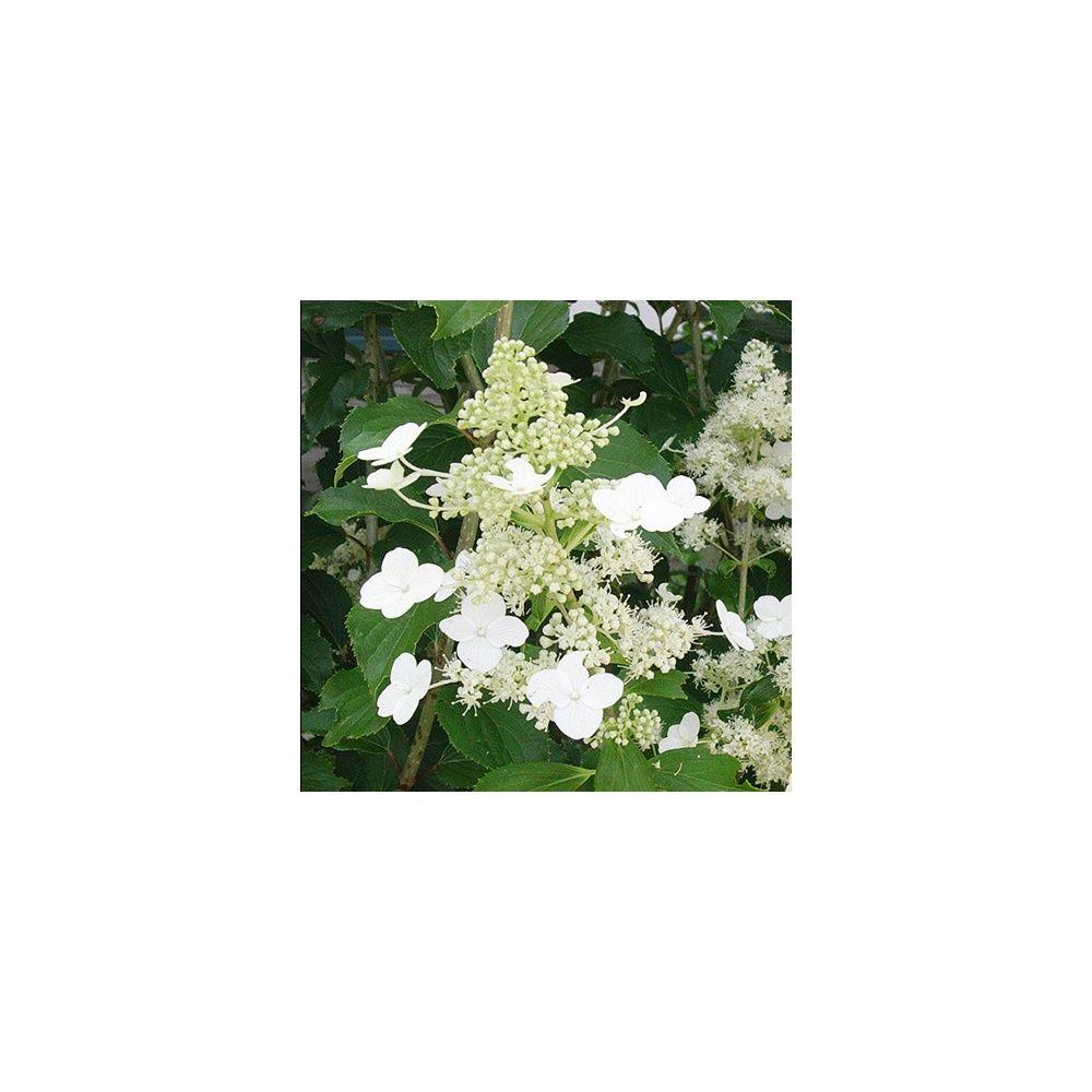 Hortensia paniculata 'Kyushu'