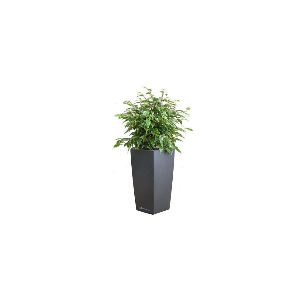ficus kinky rempot dans pot lechuza maxi cubi anthracite m tallis hauteur totale environ 70 cm. Black Bedroom Furniture Sets. Home Design Ideas