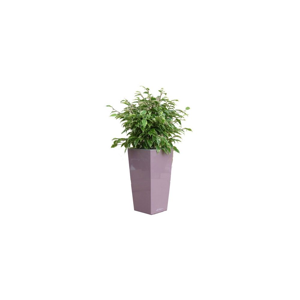 Ficus Kinky rempoté dans pot Lechuza MaxiCubi Mauve brillant
