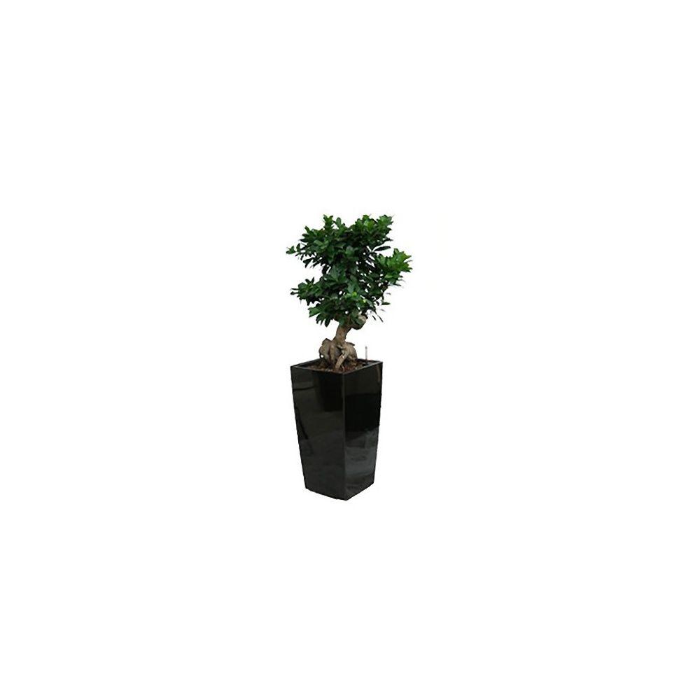 Ficus retusa 'compacta' rempoté dans pot Lechuza Cubico Premium 30 noir brillant