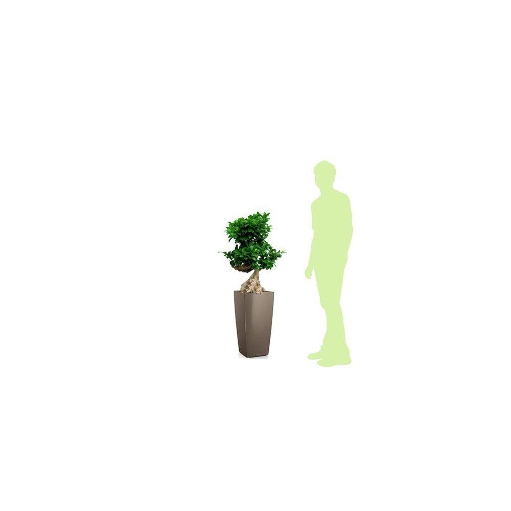 Ficus retusa 'compacta' rempoté dans pot Lechuza Cubico Color 30 Muscade