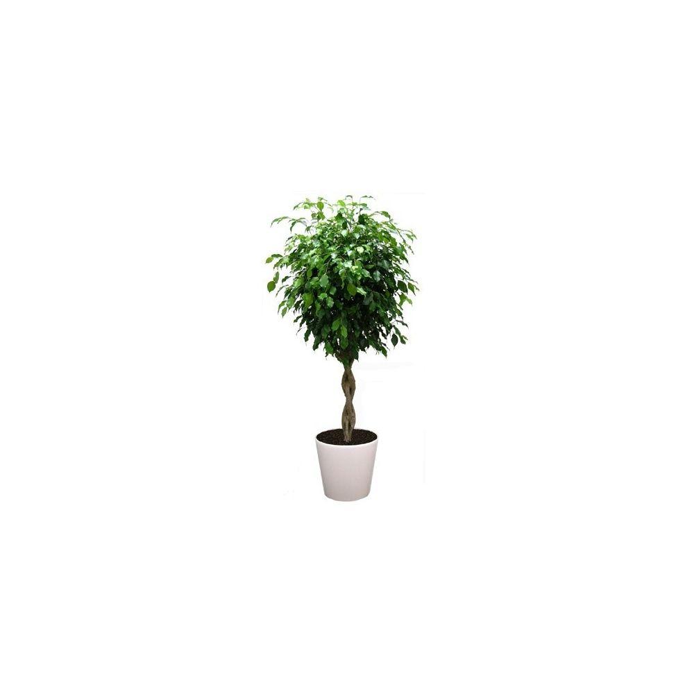 Ficus tressé rempoté dans pot Lechuza Classico Premium 35 blanc brillant