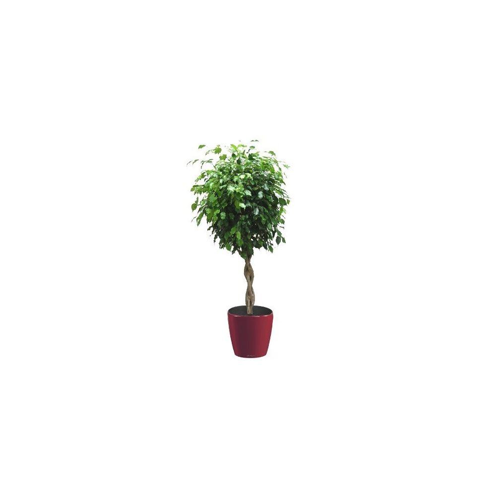 Ficus tressé rempoté dans pot Lechuza Classico Premium 35 rouge