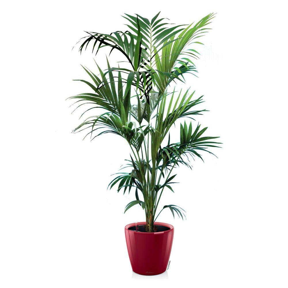 Kentia hauteur 180 200cm rempot dans pot lechuza for Palmier dans pot