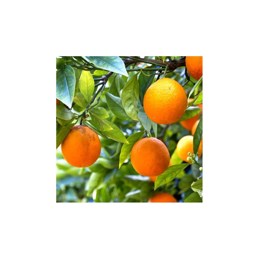 Oranger variété navel