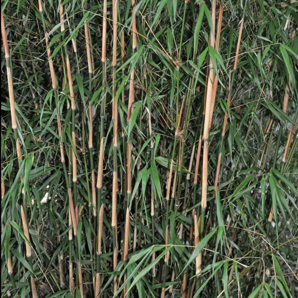 bambou non traçant : fargesia 'asian wonder' pot de 5 litres - gamm vert