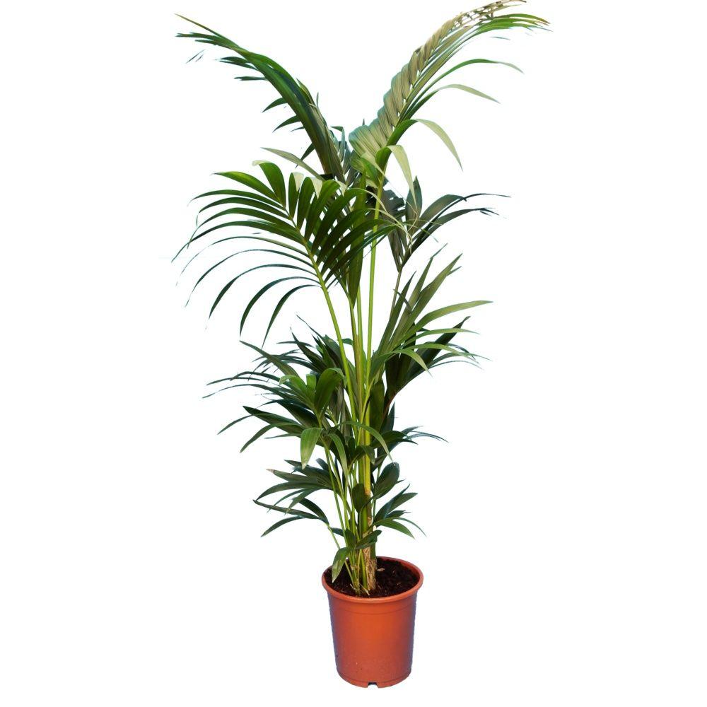 palmier interieur kentia