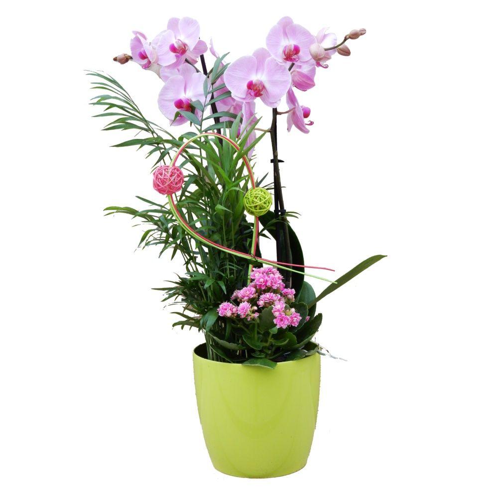 Orchidée : Phalaenopsis 'Moon' en composition