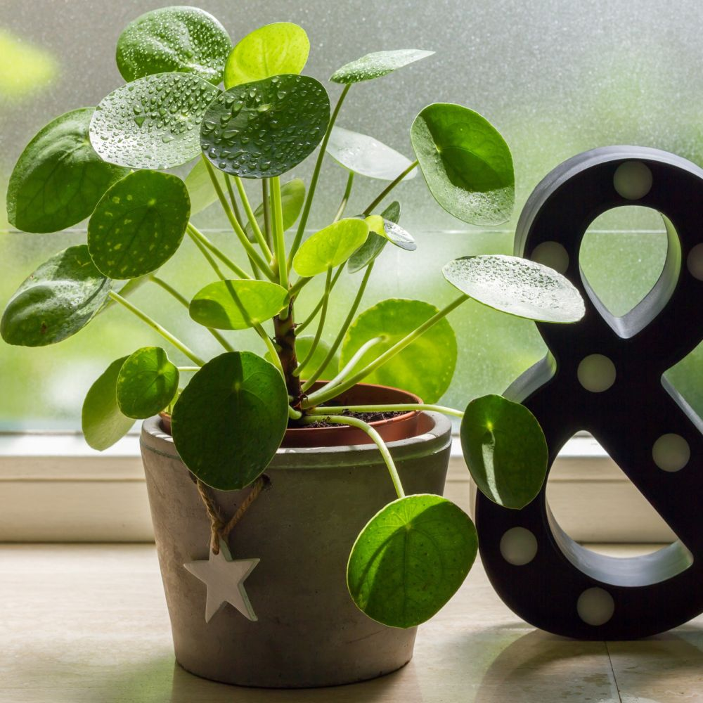 pilea hauteur avec pot 20cm pot diam tre 10 5 cm gamm vert. Black Bedroom Furniture Sets. Home Design Ideas