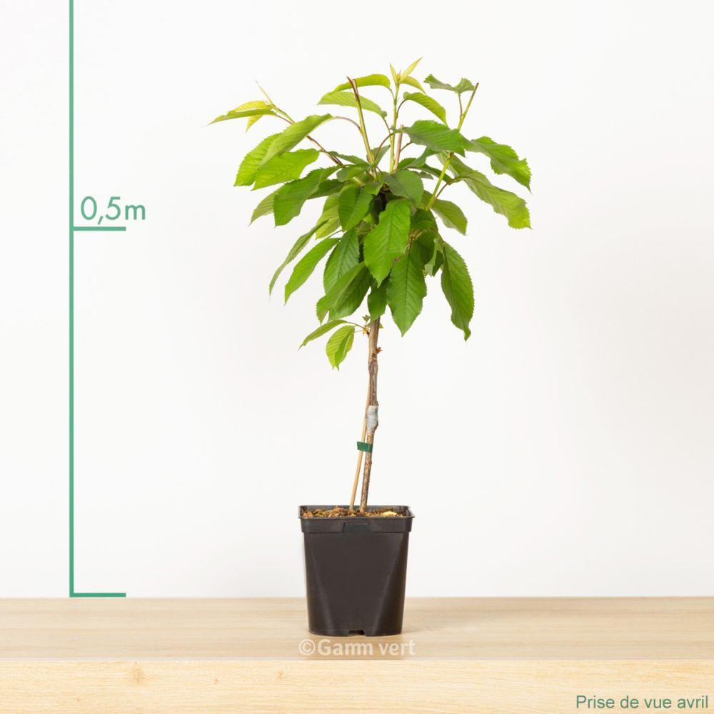 cerisier de balcon 39 cherry me 39 pot de 2 litres gamm vert. Black Bedroom Furniture Sets. Home Design Ideas