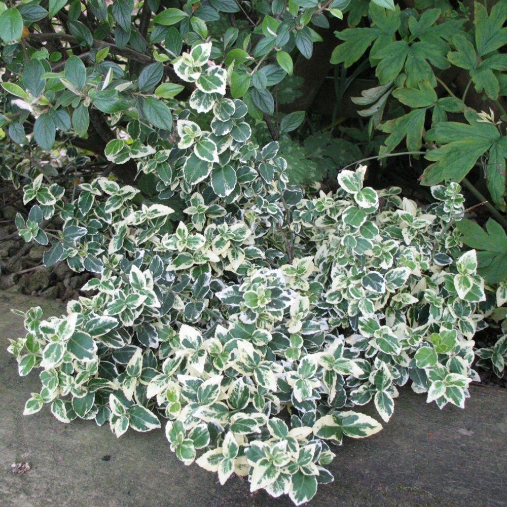 fusain fortunei 39 emerald gaiety 39 pot de 2 litres gamm vert. Black Bedroom Furniture Sets. Home Design Ideas