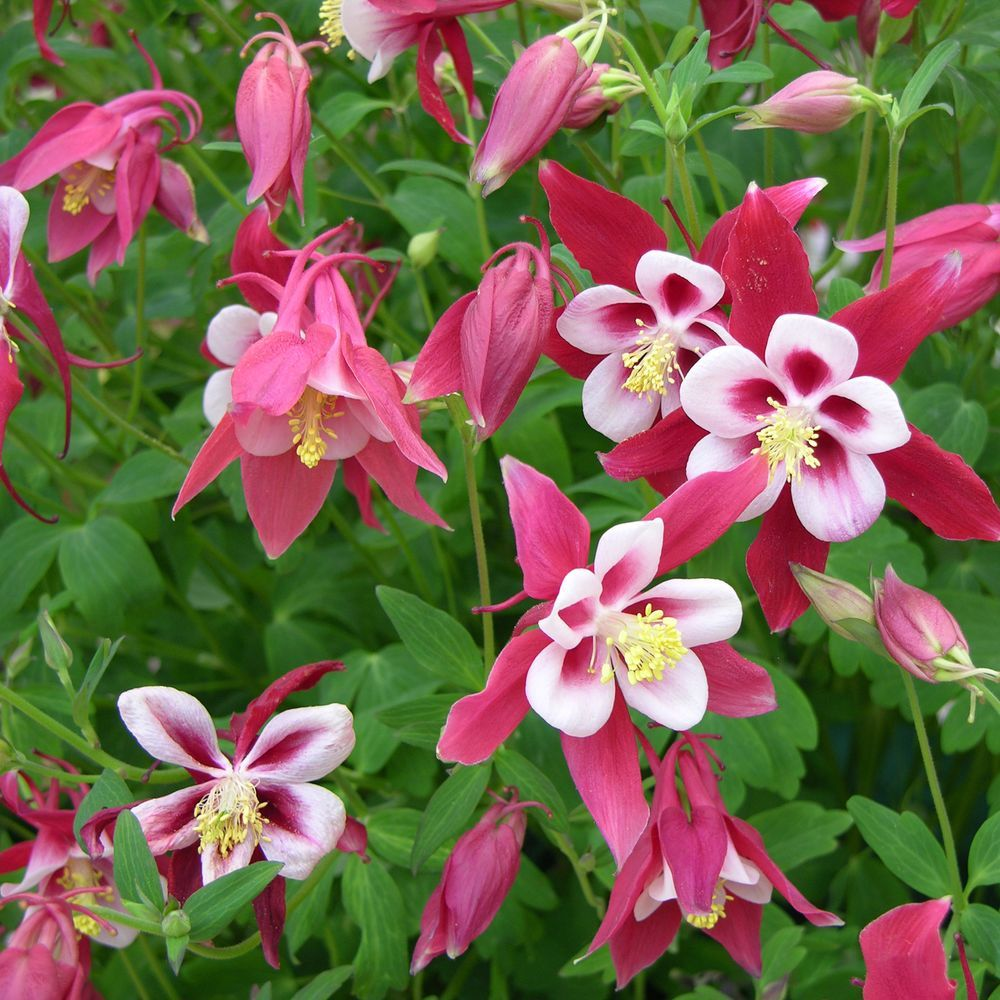 Ancolie 'Crimson Star'