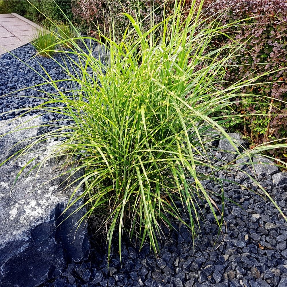 miscanthus sinensis zebrinus en pot de 2 litres gamm vert. Black Bedroom Furniture Sets. Home Design Ideas