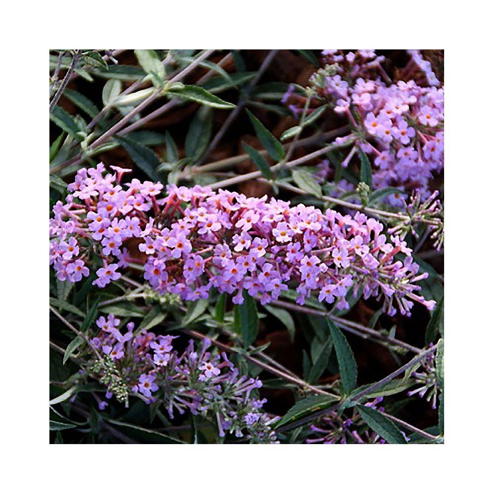 Arbre à papillons nain Lavender Flow – Buddléia nain