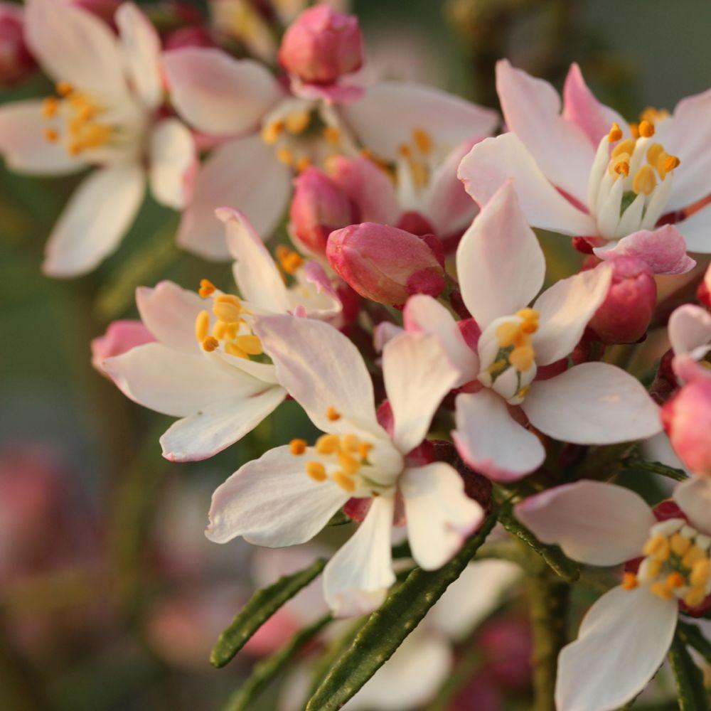 Oranger du Mexique Globe planter Apple blossom