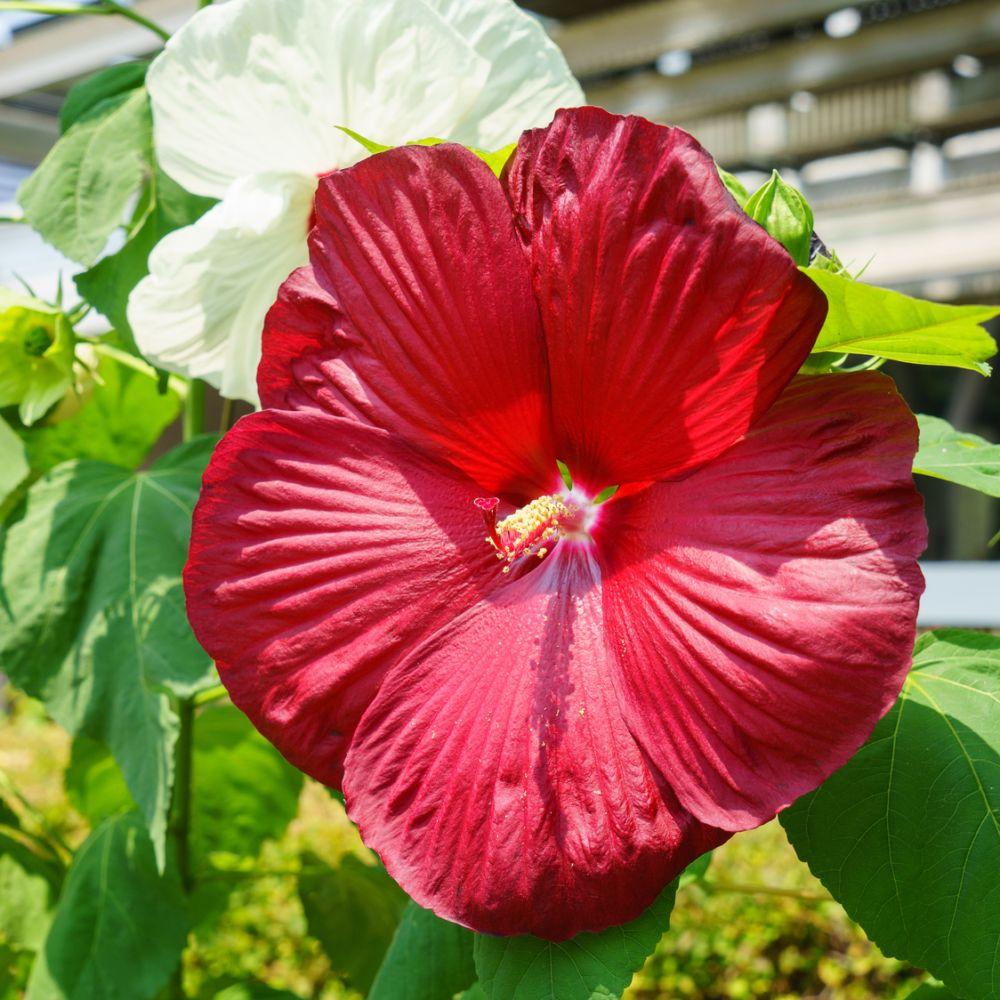 Hibiscus moscheutos geant red pot de 4 litres gamm vert - Hibiscus exterieur en pot ...