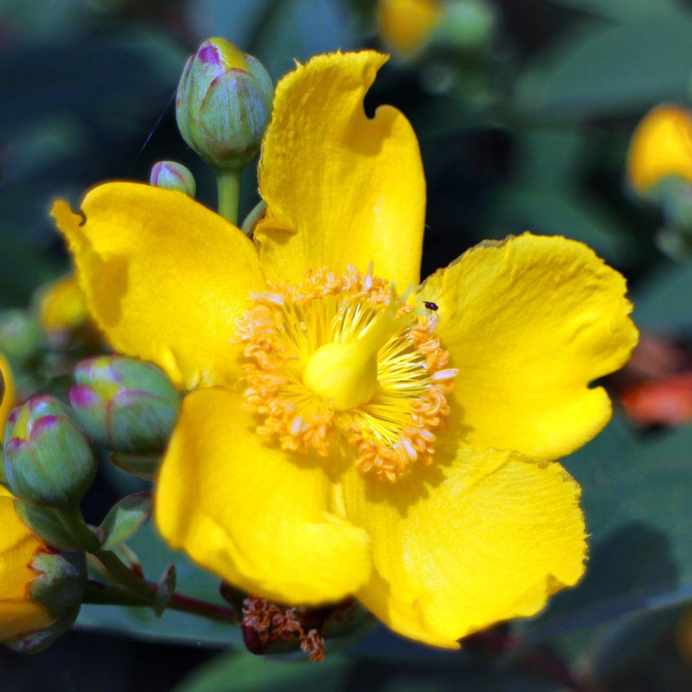 Millepertuis arbustif Hidcote