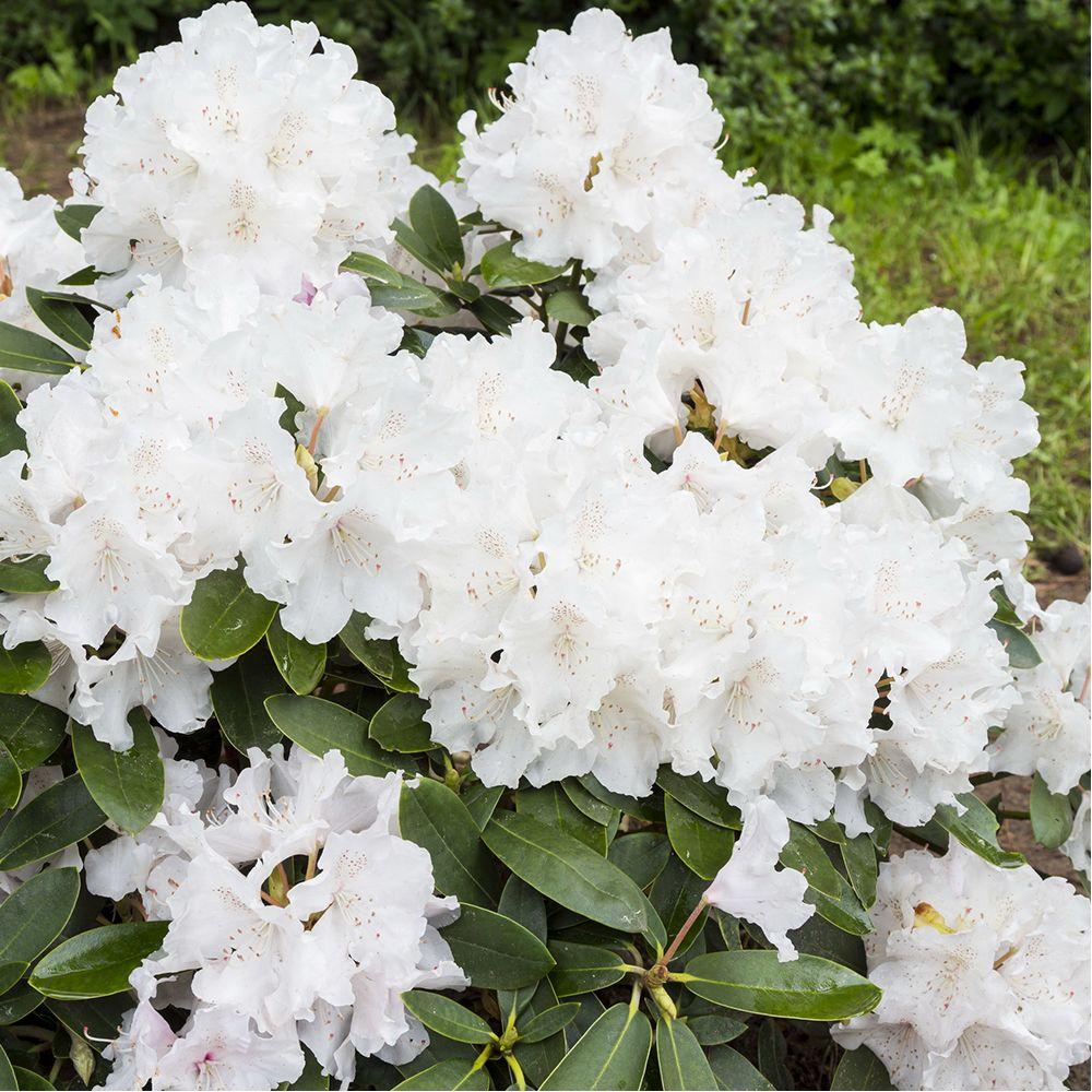 rhododendron nain cream crest en pot de 3 litres gamm vert. Black Bedroom Furniture Sets. Home Design Ideas