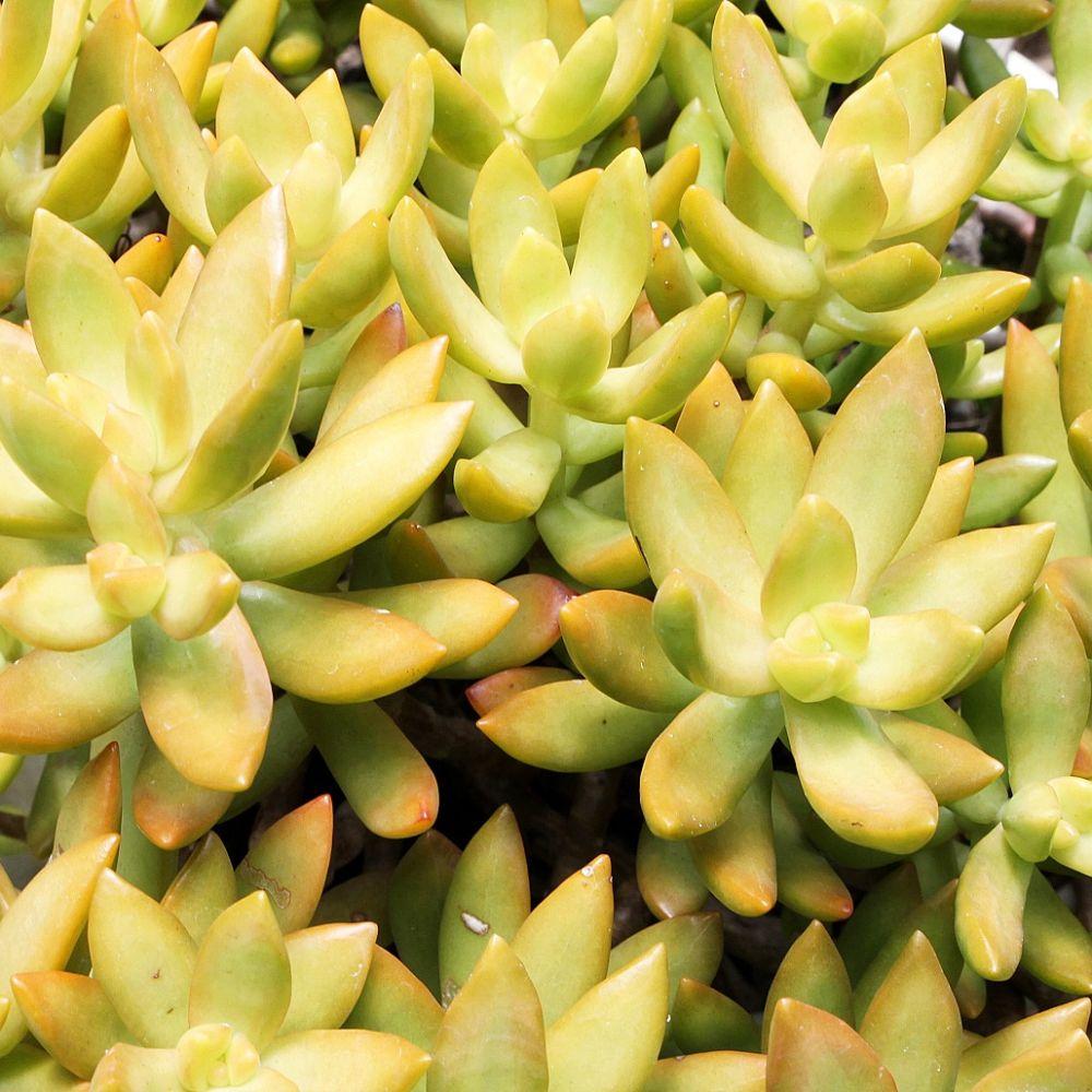 Sedum 39 nussbaumerianum 39 hauteur avec pot 25 cm pot for Plante lumineuse