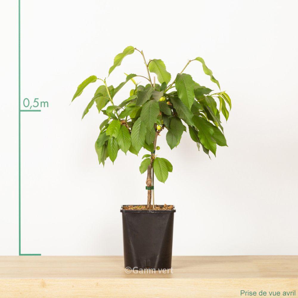 cerisier de balcon autofertile 39 cherry me 39 pot de 4 litres. Black Bedroom Furniture Sets. Home Design Ideas