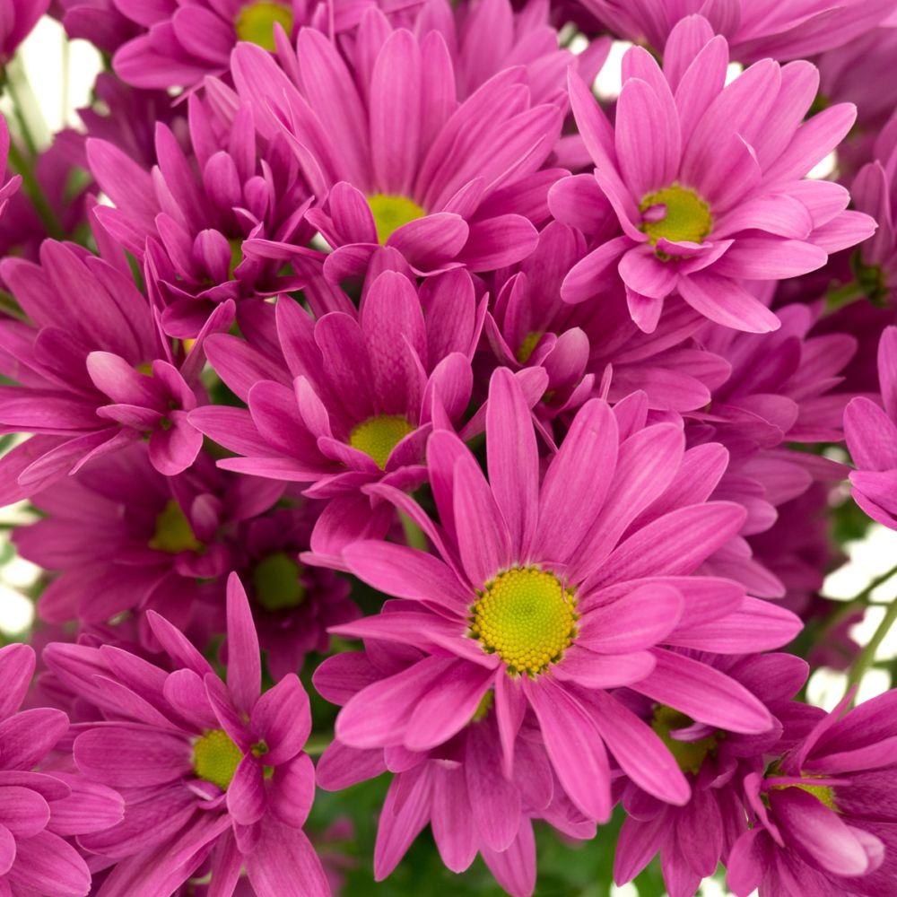 Marguerite d'automne violette