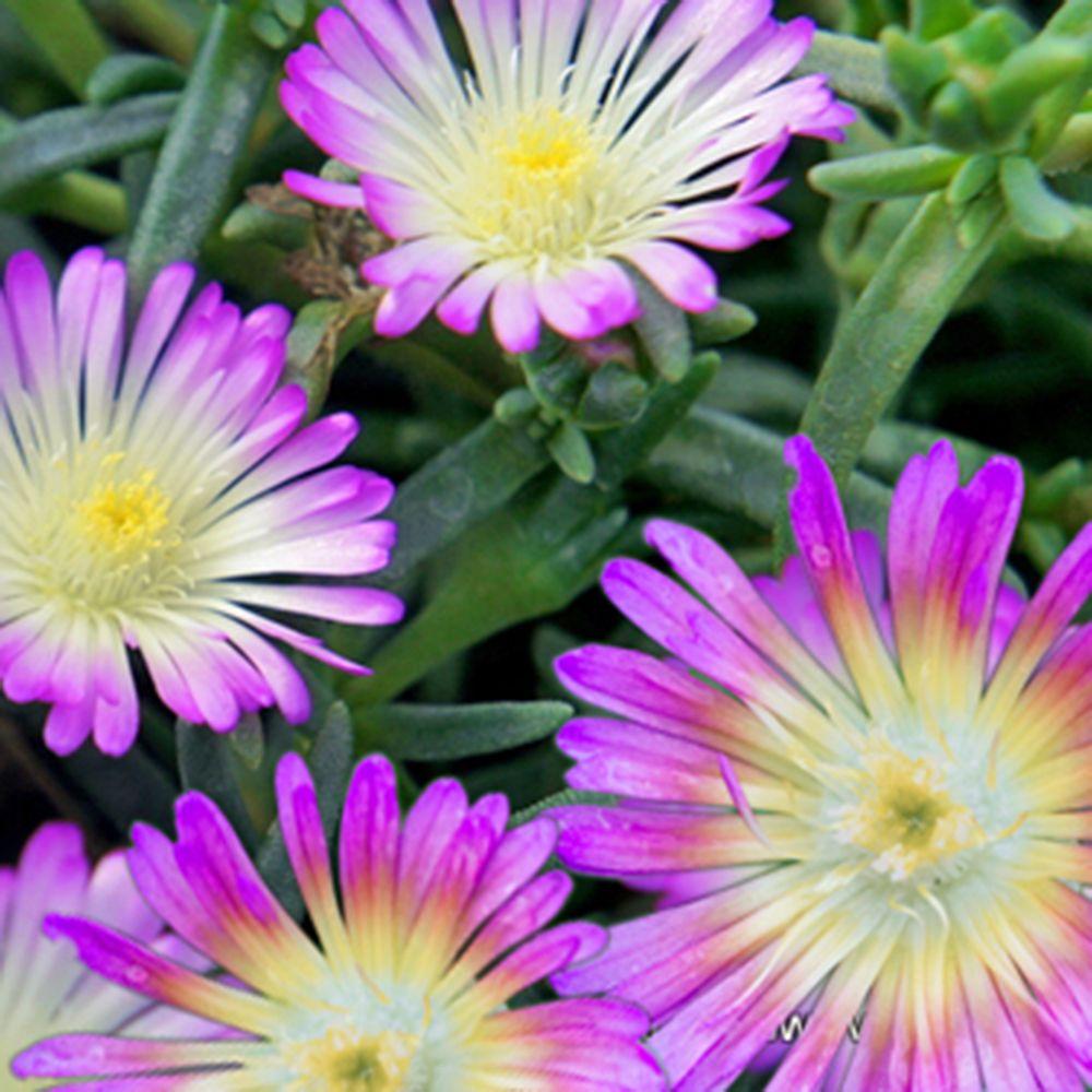 Pourpier vivace WoW 'Violet Wonder'