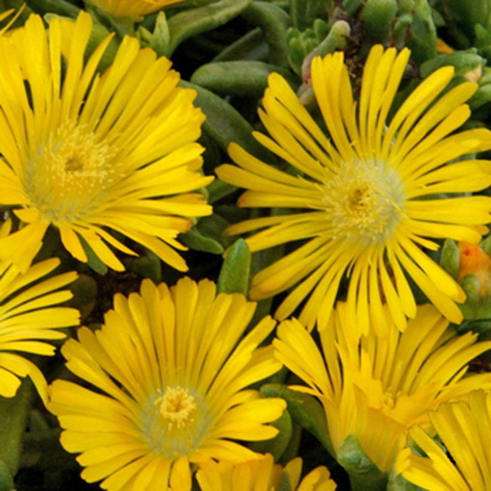 Pourpier vivace WoW 'Yellow Wonder'