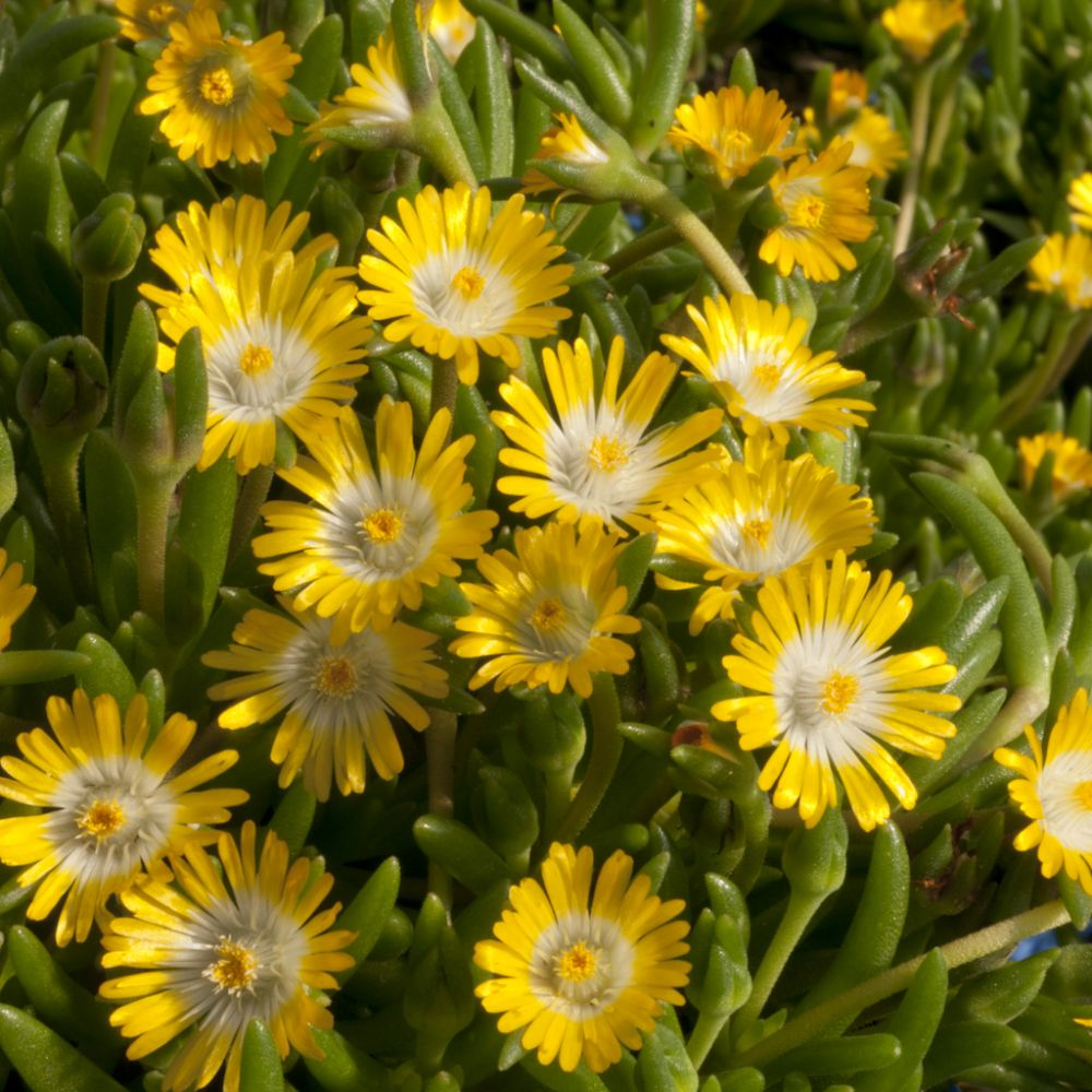 Delosperma jewel of desert peridott