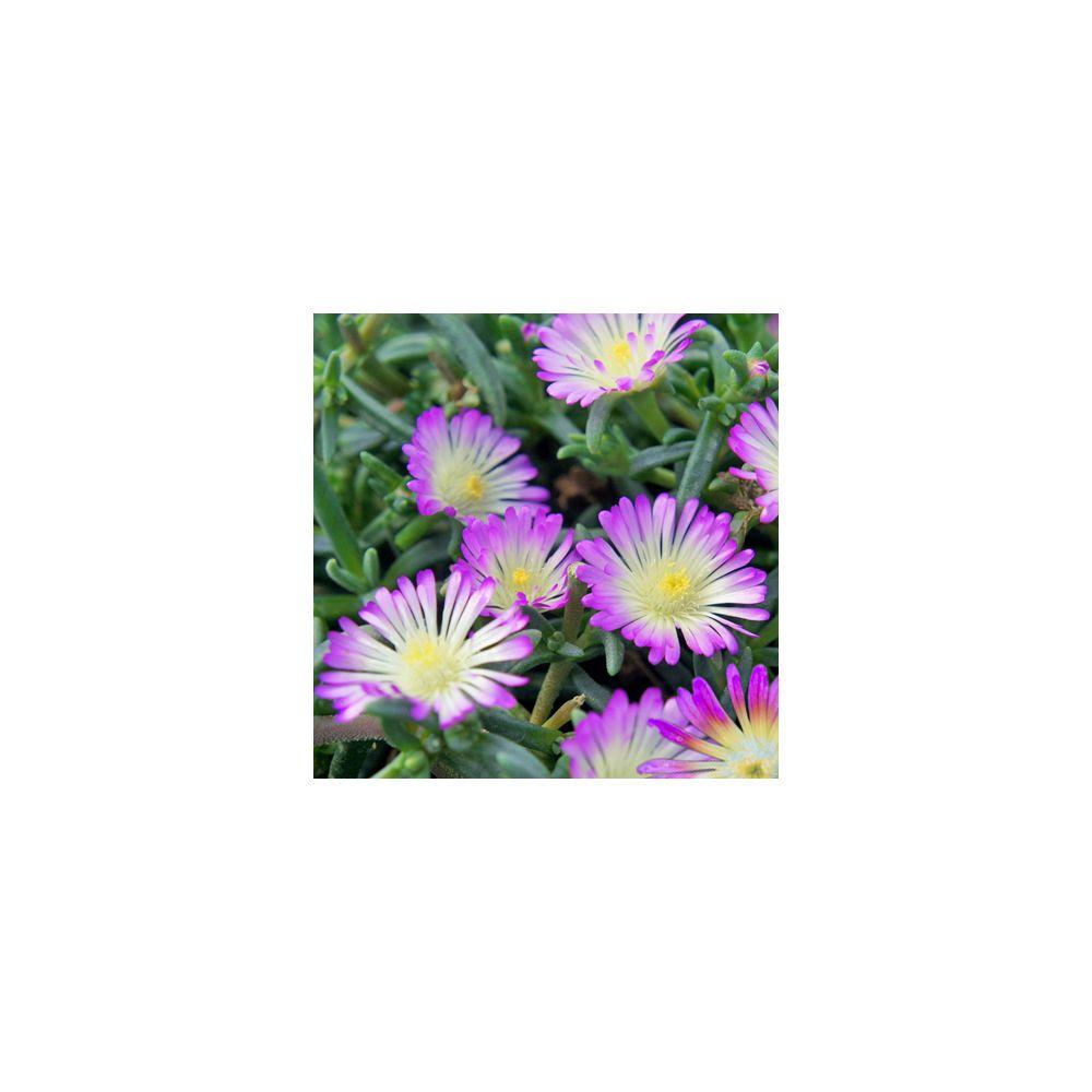 Delosperma WoW violet wonder  ®