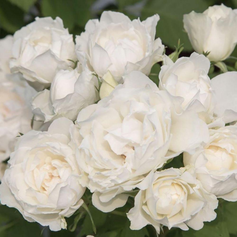 Rosier Crème Chantilly ® Meiradena – Rosier Meilland