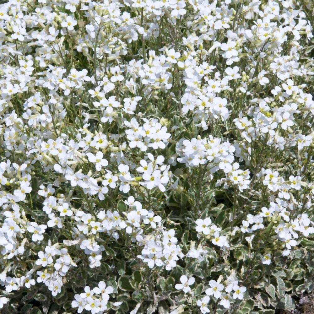 Arabette du caucase blanche en lot de 3 godets de 7 cm for Plante blanche exterieur