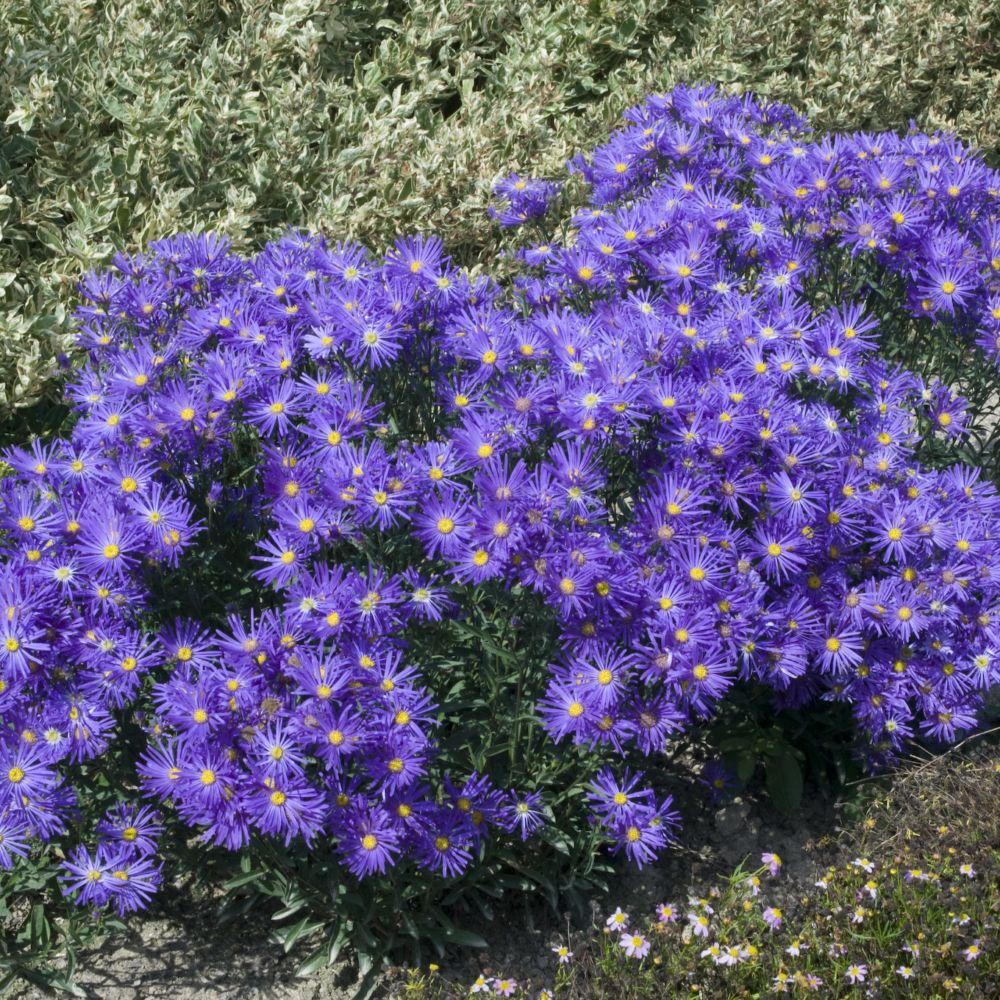 Aster nain de printemps bleu violace