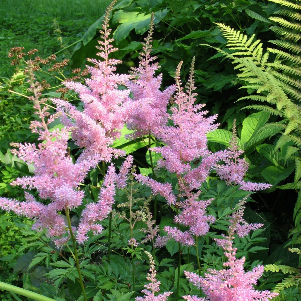 Astilbe rose 'Bressingham Beauty'