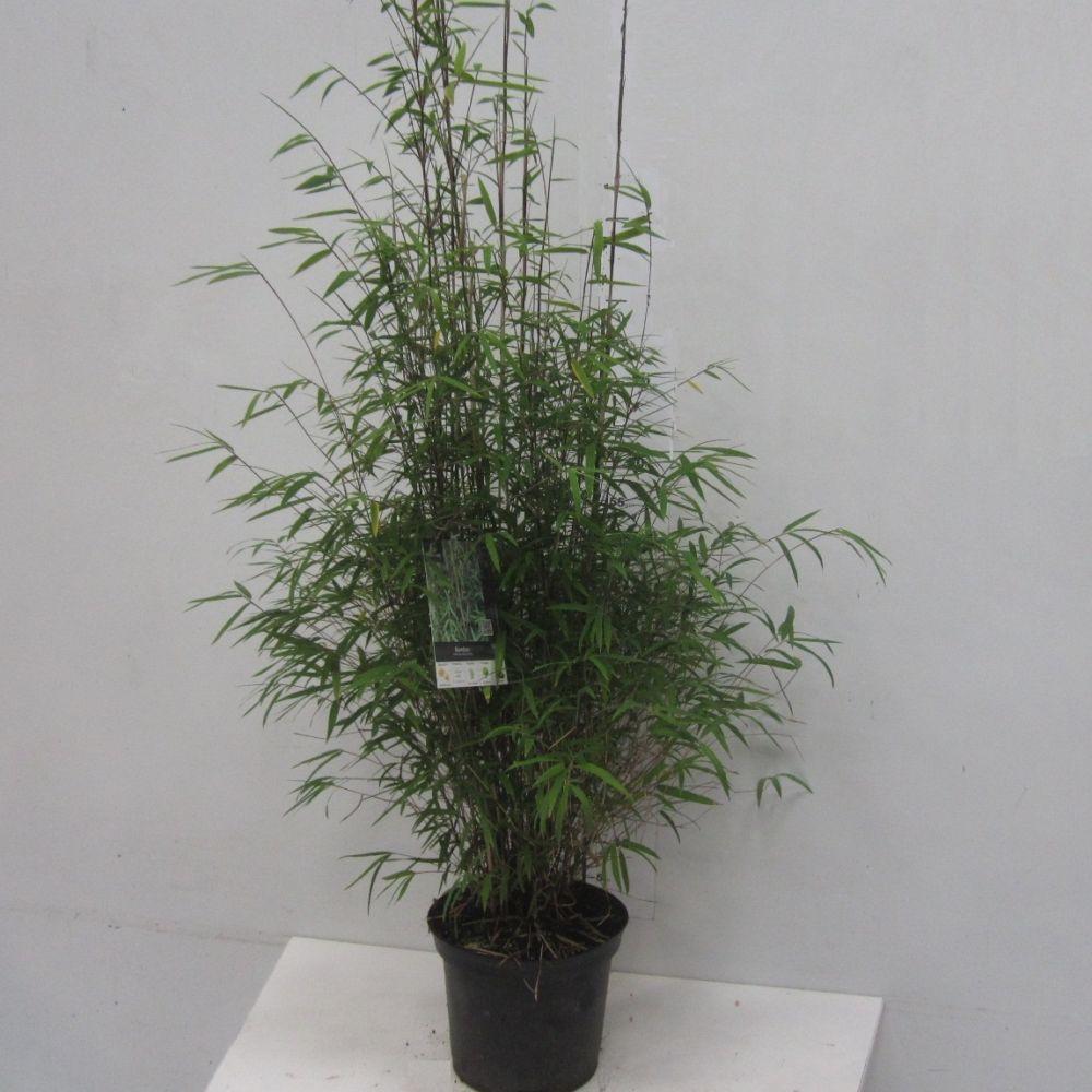 bambou non tra ant fargesia 39 angustissima 39 pot de 5 litres gamm vert. Black Bedroom Furniture Sets. Home Design Ideas