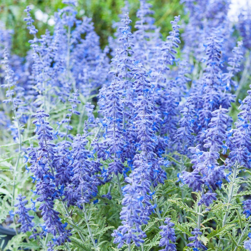 Perovskia 'Lacey Blue'