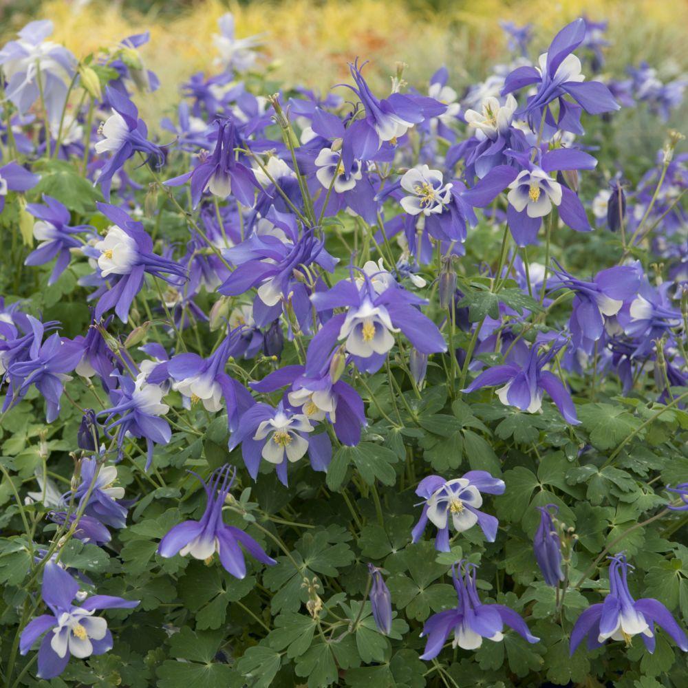 Ancolie bleue 'Spring Magic Blue'