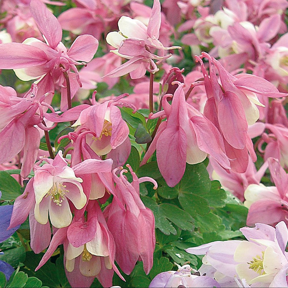 Ancolie rose et blanc 'Spring Magic'