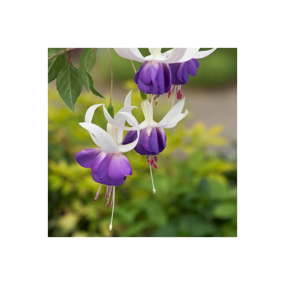 Fuchsia vivace \'Blue Sarah\' En lot de 3 godets de 7 cm - Gamm Vert