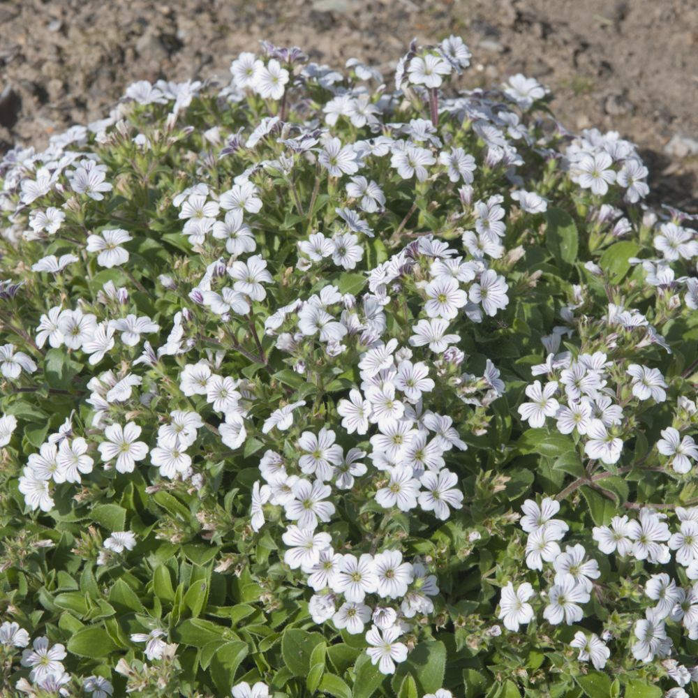 Gypsophile cerastoides blanc