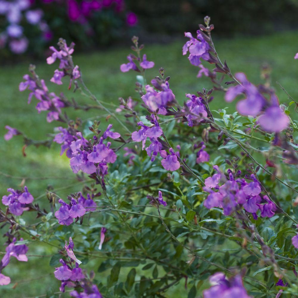 Sauge grahamii violette