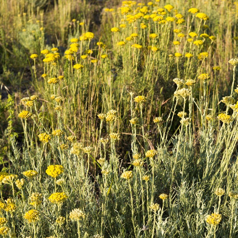 Plante curry - Immortelle d'Italie (Helichrysum italicum ...