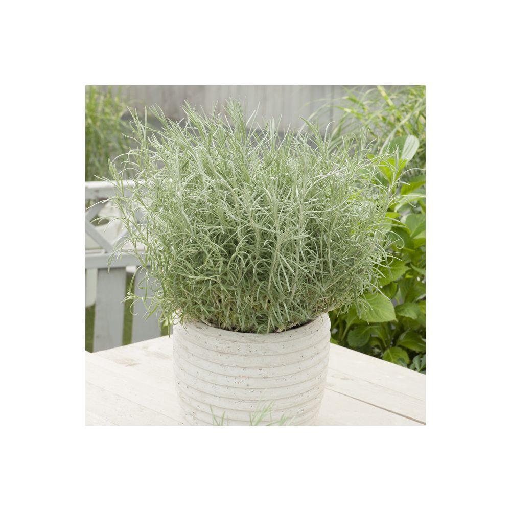 Plante curry – Immortelle d'Italie (Helichrysum italicum)