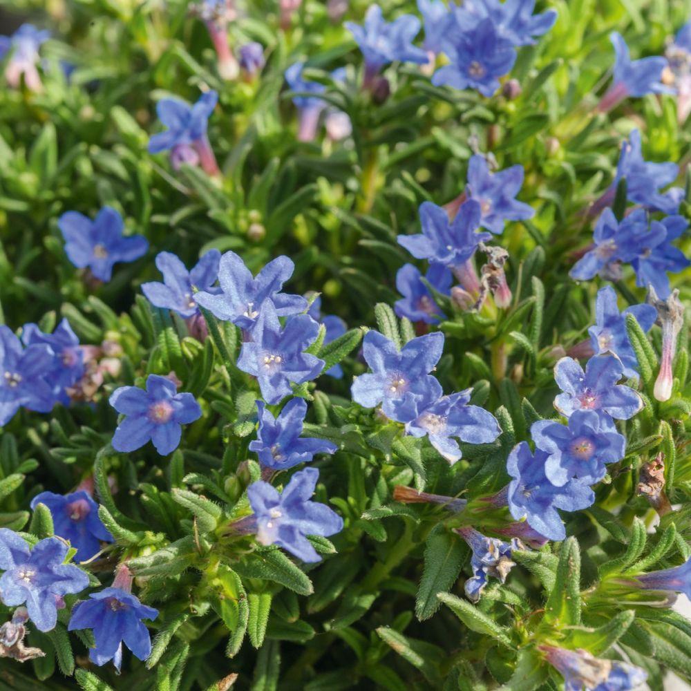 Lithodora bleu