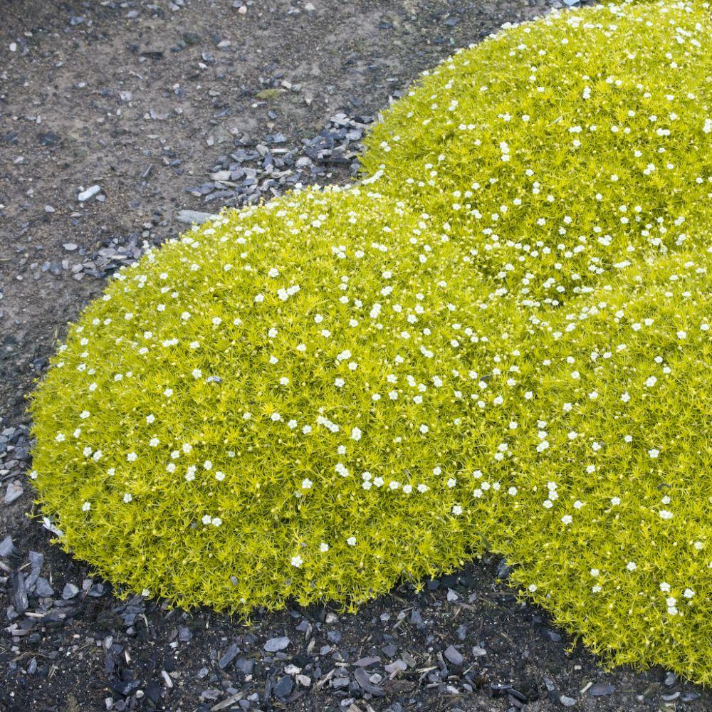 Sagine dorée – Sagina subulata aurea