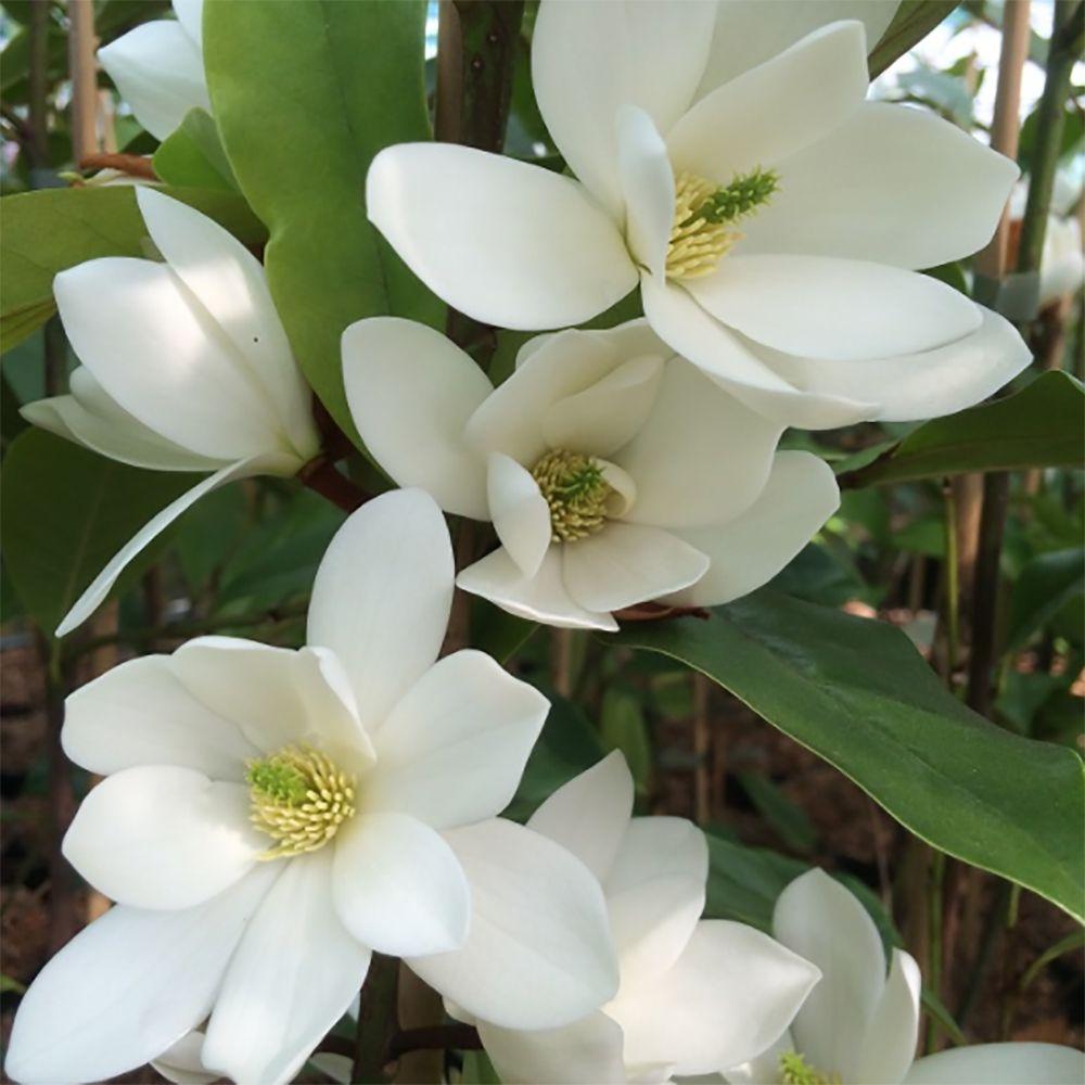 Michelia 'Fairy White' ®